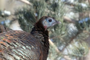 backyard-landscape-pine-turkey