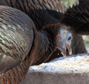 gobble-bird-seed-turkey