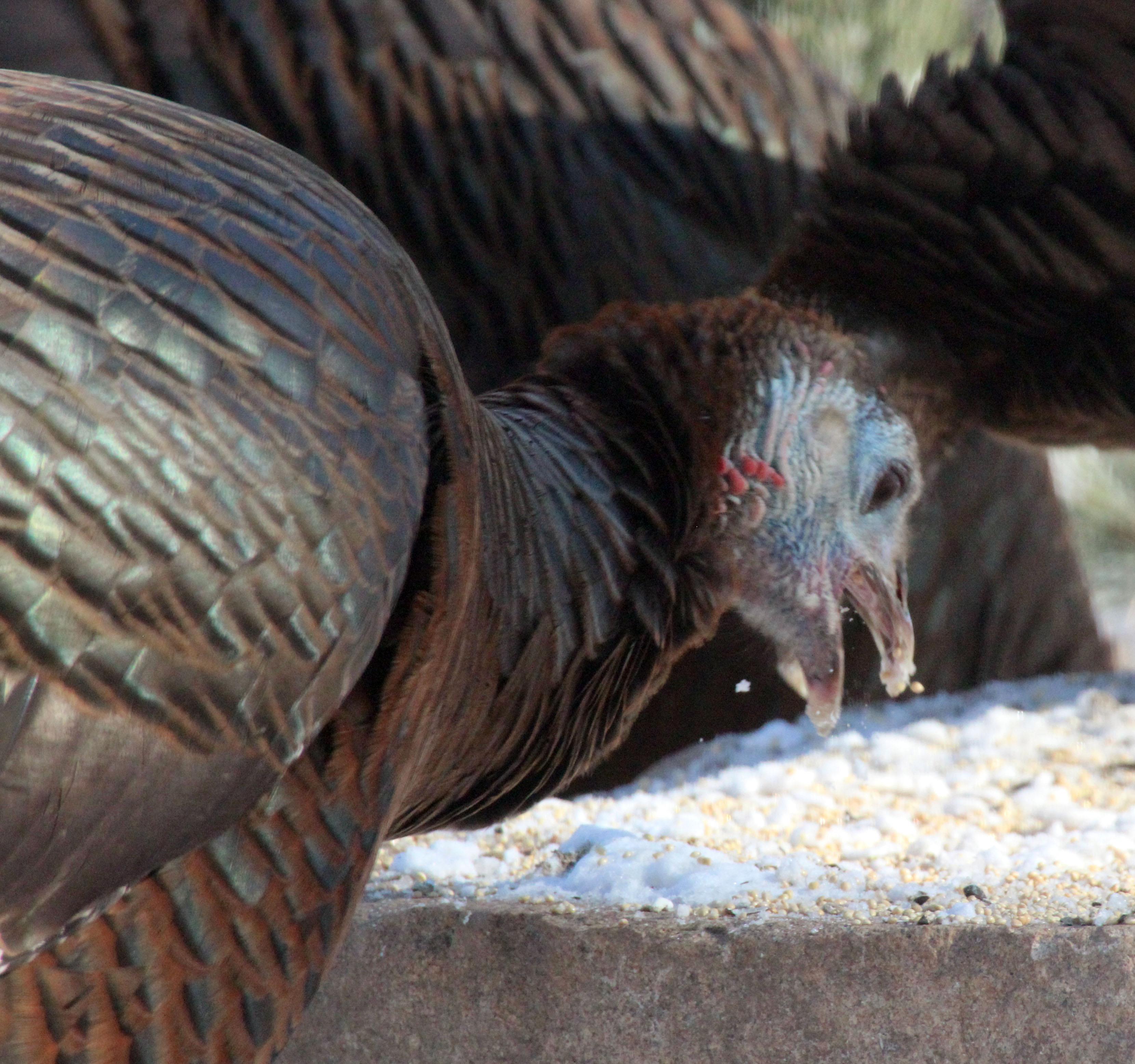 29ec88ca21 gobble-bird-seed-turkey. Turkey eating sunflower seed
