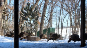 wild-turkeys-backyard-deck