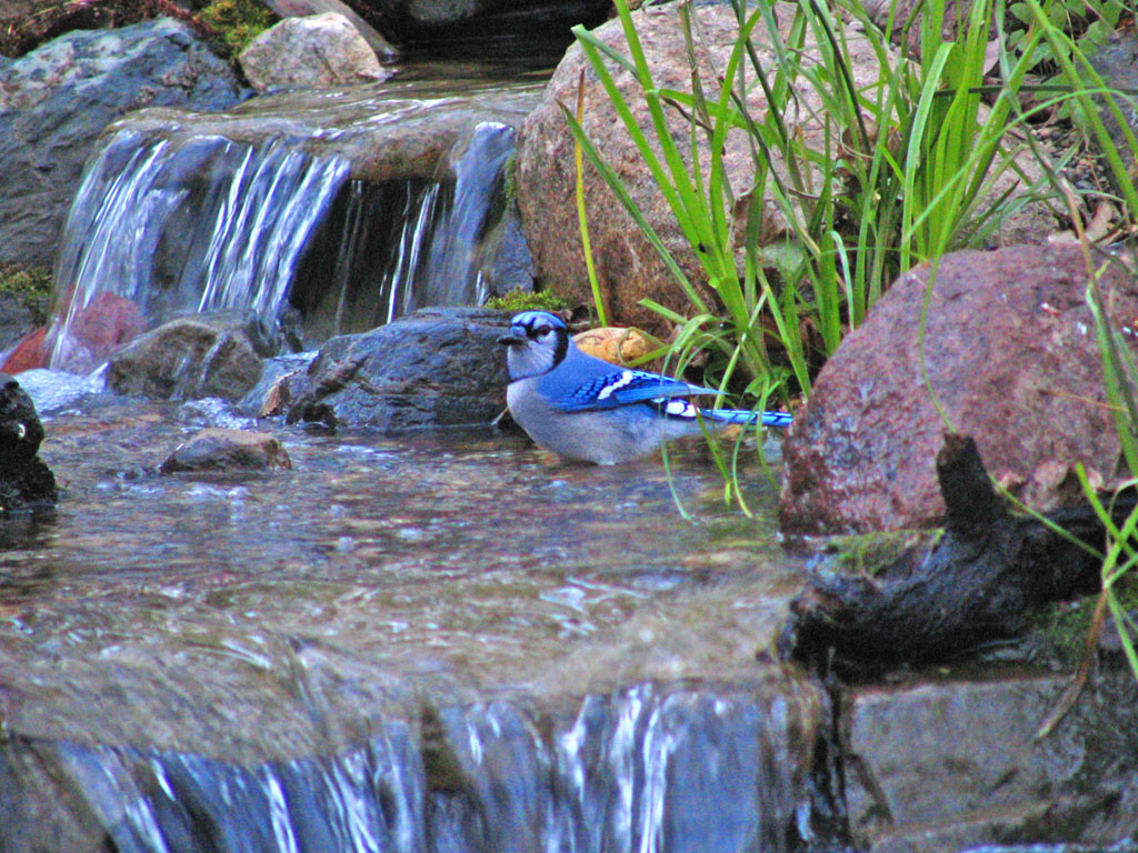 Blue Jay and Waterfalls - a Minnesota Bird