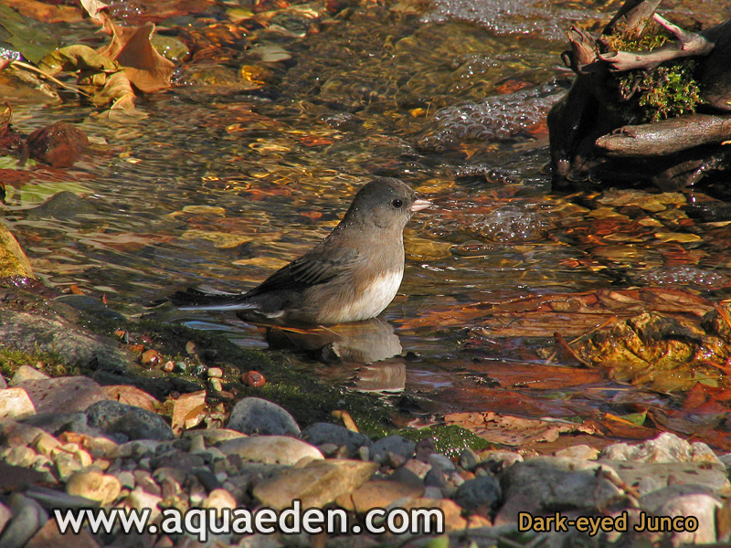 Dark-eyed Junco in Stream