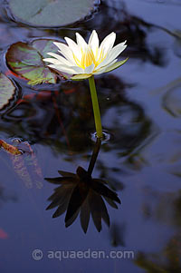 Marian Water Lily