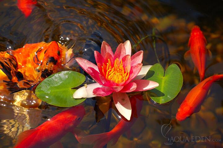 Pond pictures pond inhabitants plants lilypad flower and koi for Koi fish pond plants