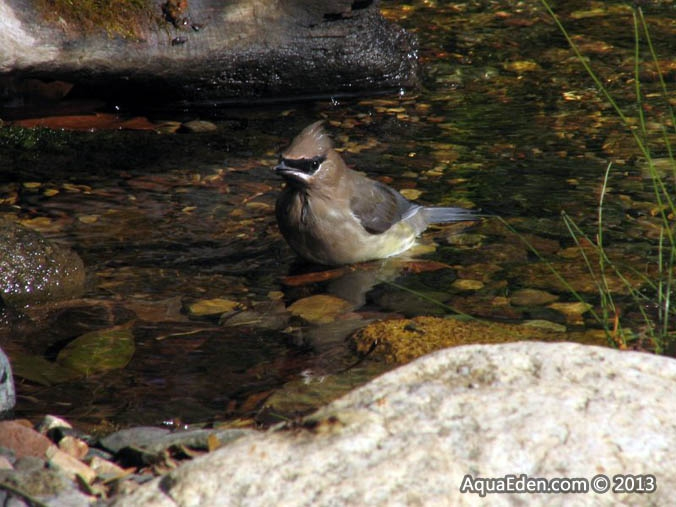 cedar-waxwing-stream-bathing-mn