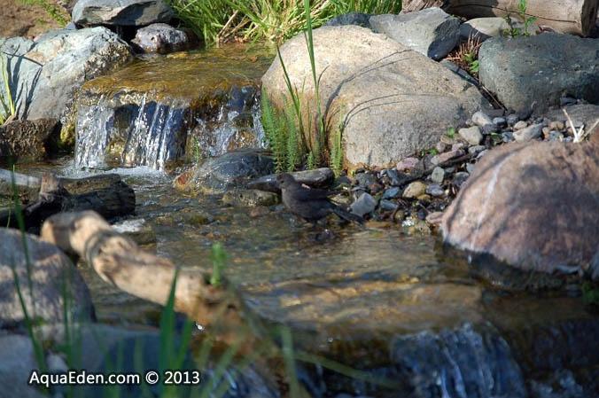 cowbird-stream-bath
