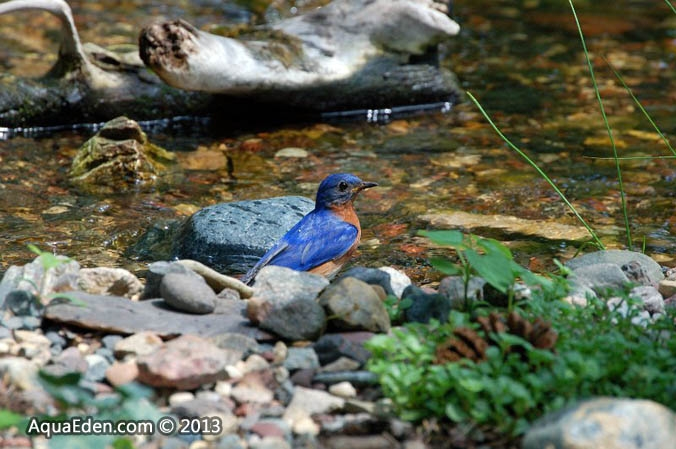 eastern-bluebird-stream-mn