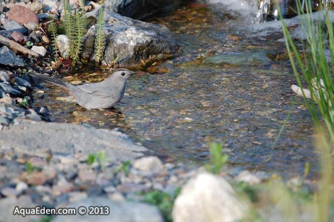 gray-catbird-stream-pond-minnesota