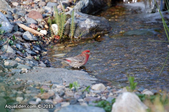 house-finch-waterfall-stream-mn