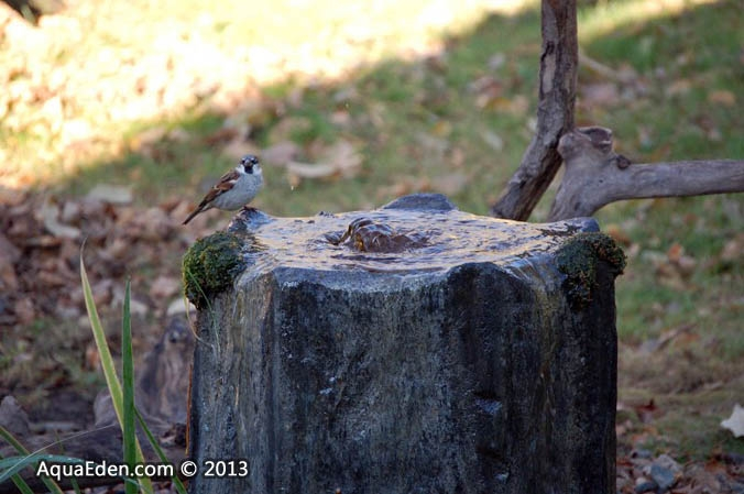 house-sparrow-fountain-minnesota