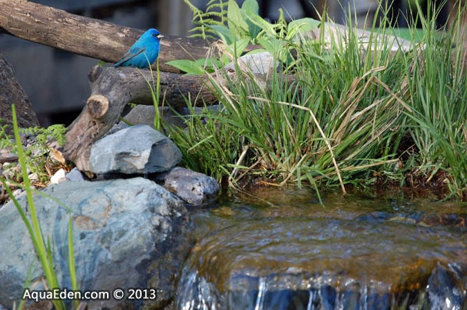 indigo-bunting-water-feature-mn