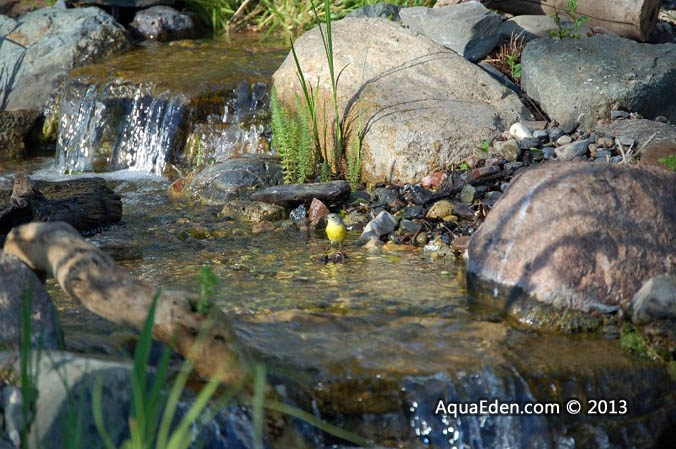 nashville-warbler-water-feature-mn