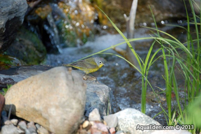 nashville-warbler-waterfall-minnesota