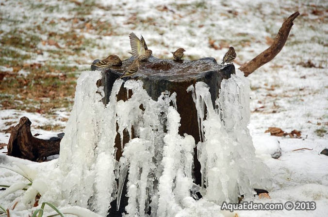 pine-siskin-bird-bath-fountain-mn