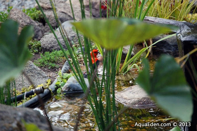 scarlet-tanager-fountain-pond-mn