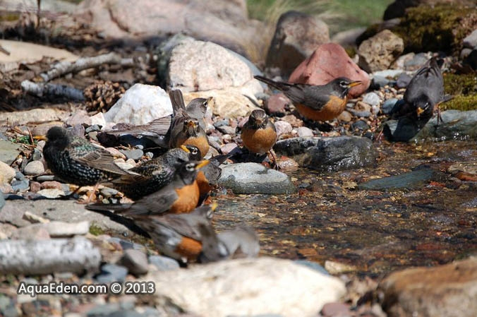 starling-robin-stream-drink-mn