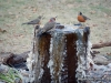 flicker-robin-water-fountain-chat-mn
