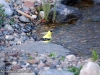 goldfinch-waterfall-stream-mn