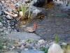 house-finch-waterfall-stream-mn