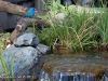 indigo-bunting-water-feature-mn