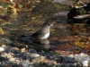 junco-waterfall-stream-mn