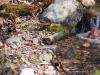 purple-finch-female-waterfall-mn