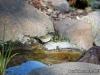 tennessee-warbler-pond
