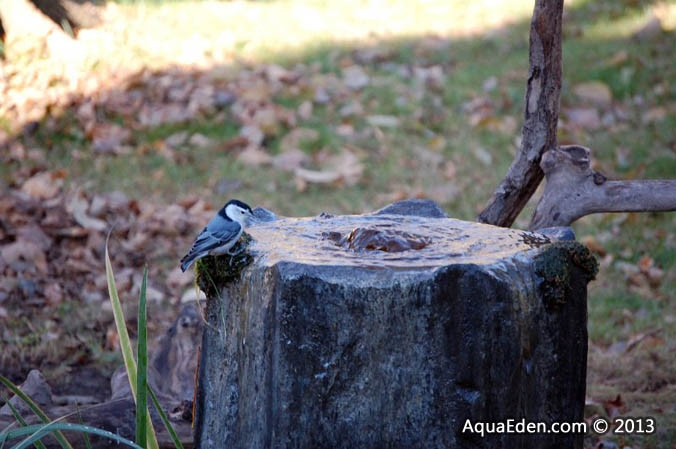 white-breasted-nuthatch-fountain-mn