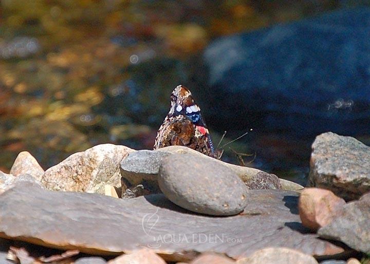 butterfly-stream