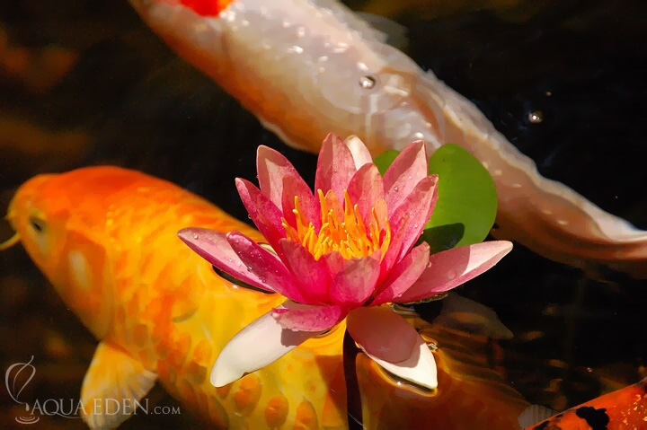 koi-and-flower