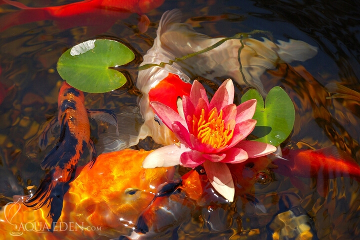 koi-and-lilypad-flower