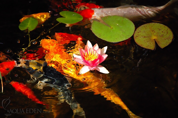 koi-and-pink-flower
