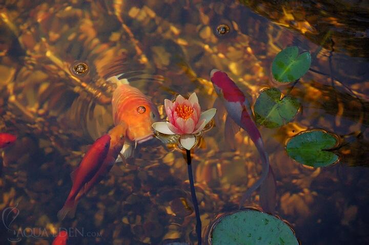 pink-lily-pond
