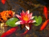 lilypad-flower-and-koi