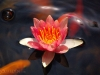 pink-lily-in-pond