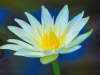 white-lilypad-flower