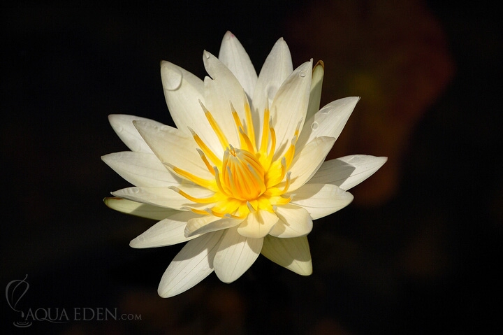 white-lily-in-pond