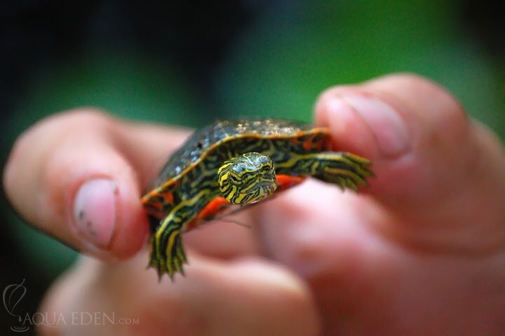 young-turtle